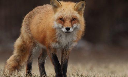 Fuchs blickt in Kamera