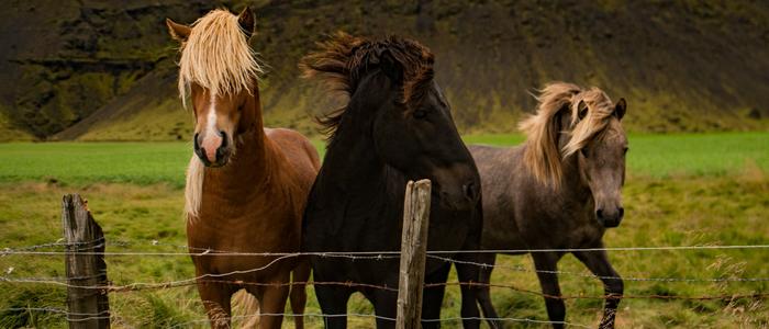 Pferde auf Weide hinter Stacheldraht
