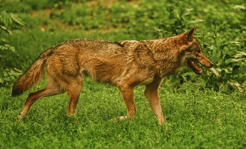 Ein Wolf läuft über eine Wiese.